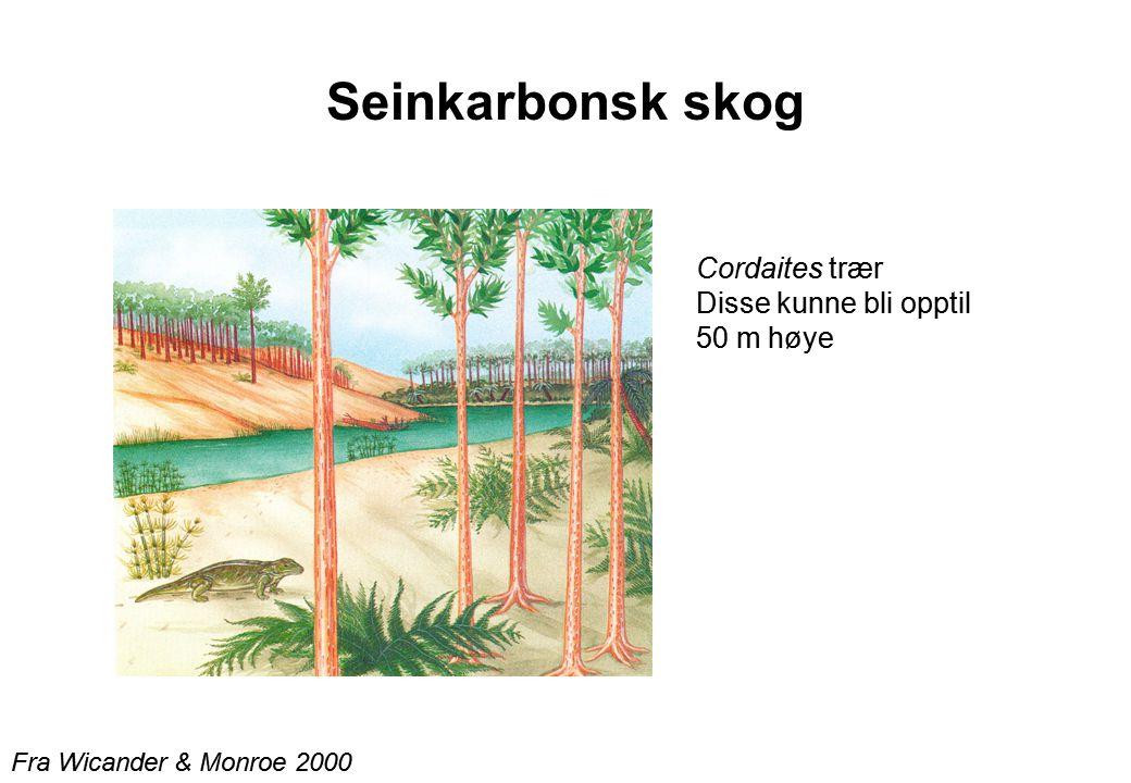 Seinkarbonsk skog Fra Wicander & Monroe 2000 Cordaites trær Disse kunne bli opptil 50 m høye