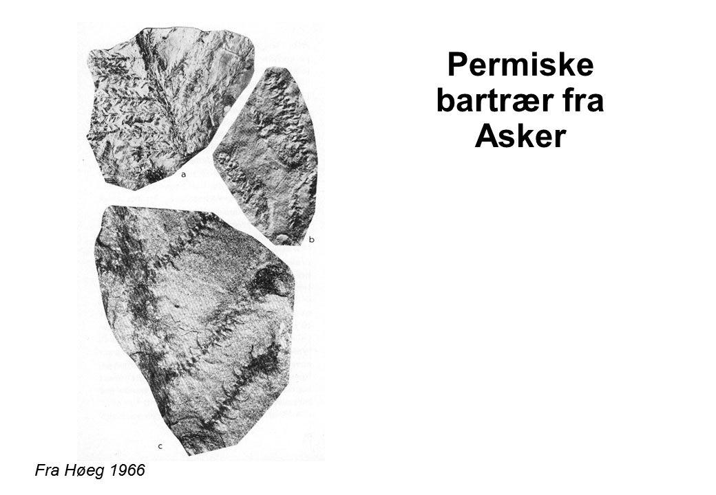 Permiske bartrær fra Asker Fra Høeg 1966