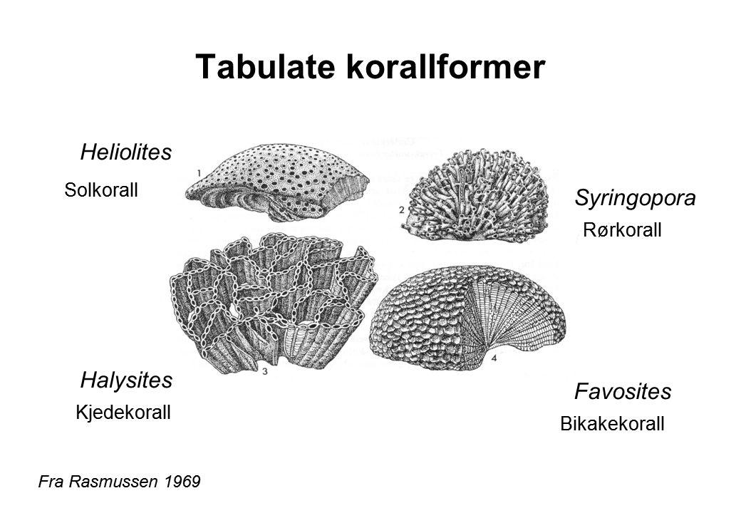 Tabulate korallformer Fra Rasmussen 1969 Heliolites Halysites Favosites Syringopora Solkorall Rørkorall Kjedekorall Bikakekorall