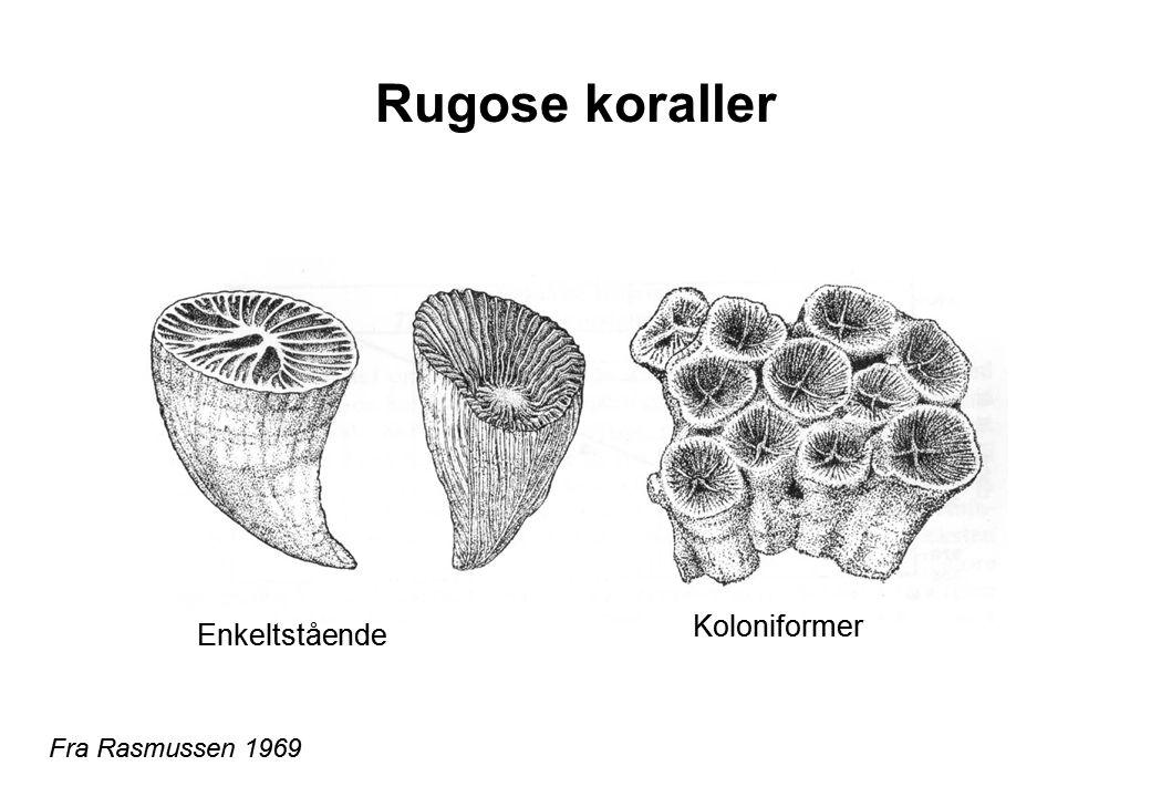 Rugose koraller Fra Rasmussen 1969 Enkeltstående Koloniformer