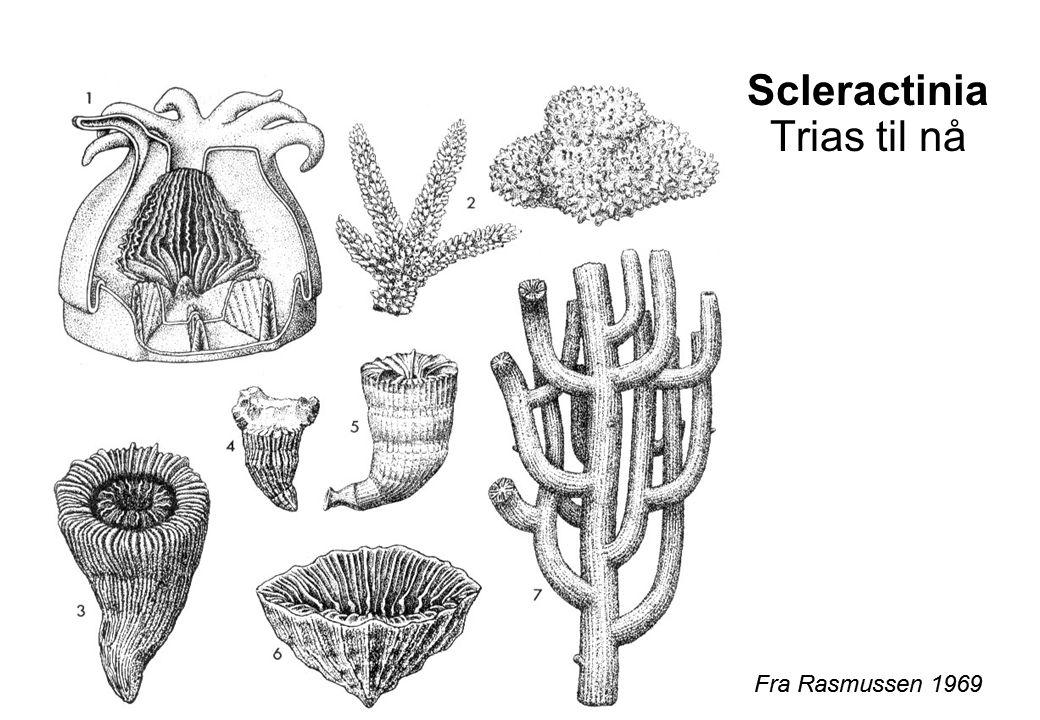 Scleractinia Trias til nå Fra Rasmussen 1969