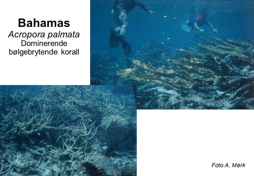 Bahamas Acropora palmata Dominerende bølgebrytende korall Foto A. Mørk