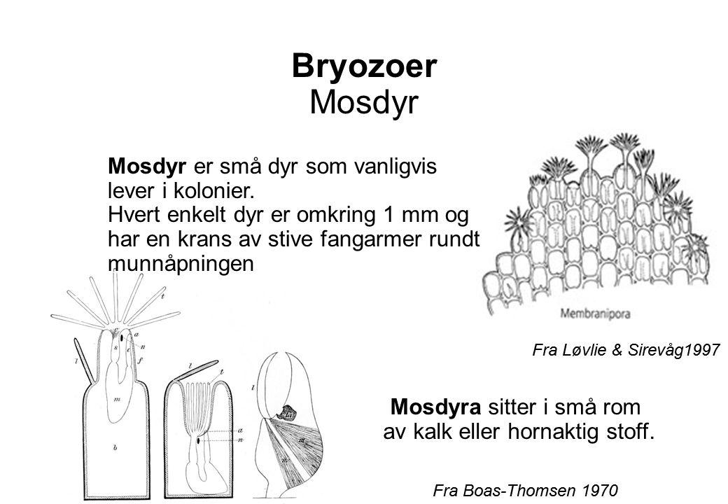 Bryozoer Mosdyr Fra Boas-Thomsen 1970 Fra Løvlie & Sirevåg1997 Mosdyr er små dyr som vanligvis lever i kolonier.