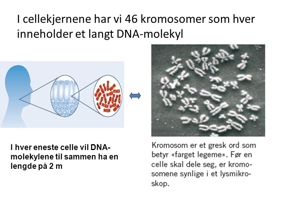 I cellekjernene har vi 46 kromosomer som hver inneholder et langt DNA-molekyl I hver eneste celle vil DNA- molekylene til sammen ha en lengde på 2 m