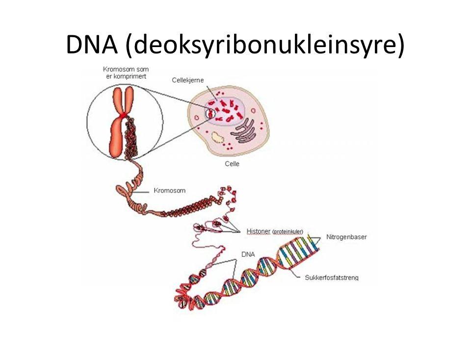 DNA (deoksyribonukleinsyre)