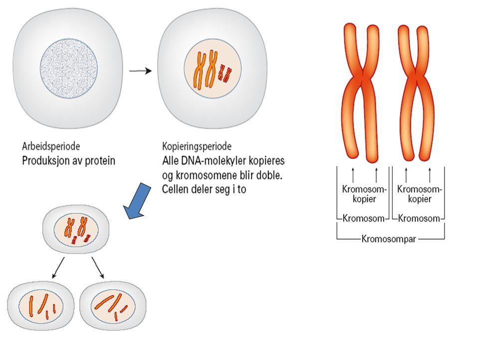 Kjønnet formering – gener og kromosomer kombineres på nye måter
