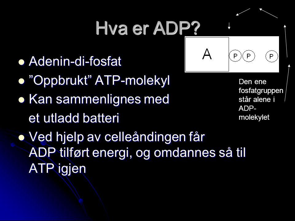 """Hva er ADP?  Adenin-di-fosfat  """"Oppbrukt"""" ATP-molekyl  Kan sammenlignes med et utladd batteri et utladd batteri  Ved hjelp av celleåndingen får AD"""