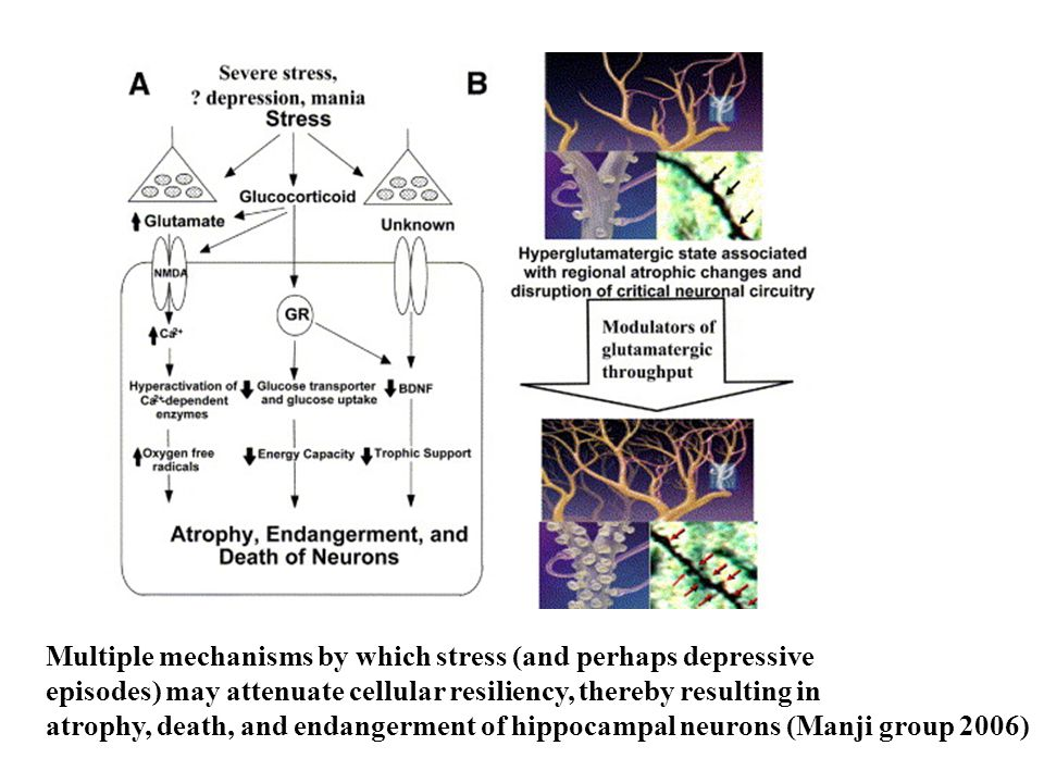 Multiple mechanisms by which stress (and perhaps depressive episodes) may attenuate cellular resiliency, thereby resulting in atrophy, death, and endangerment of hippocampal neurons (Manji group 2006)