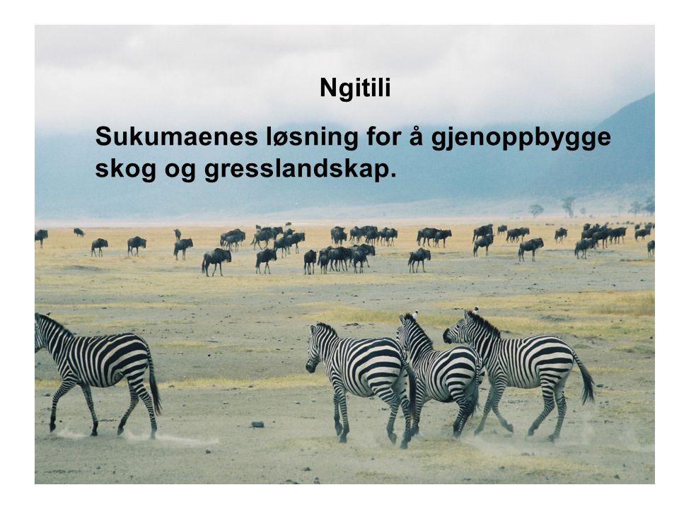 Ngitili Sukumaenes løsning for å gjenoppbygge skog og gresslandskap.