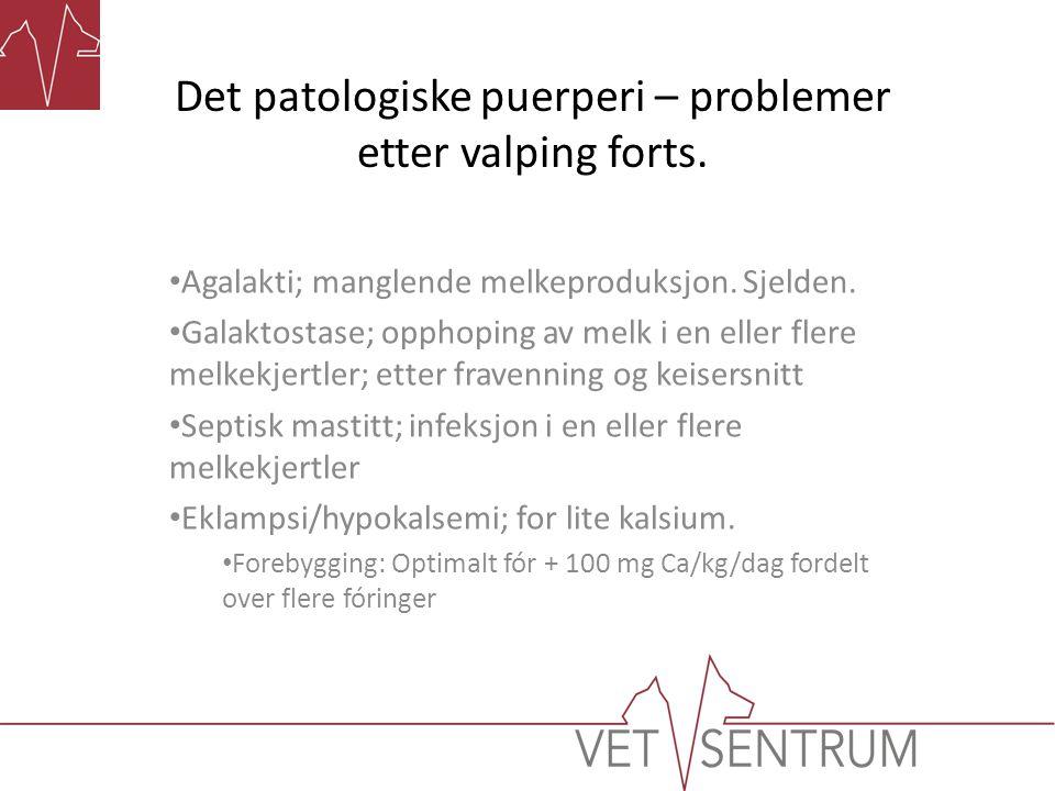 Det patologiske puerperi – problemer etter valping forts. Agalakti; manglende melkeproduksjon. Sjelden. Galaktostase; opphoping av melk i en eller fle