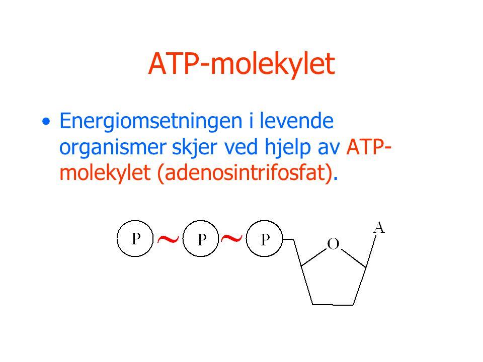 ATP-molekylet Energiomsetningen i levende organismer skjer ved hjelp av ATP- molekylet (adenosintrifosfat).