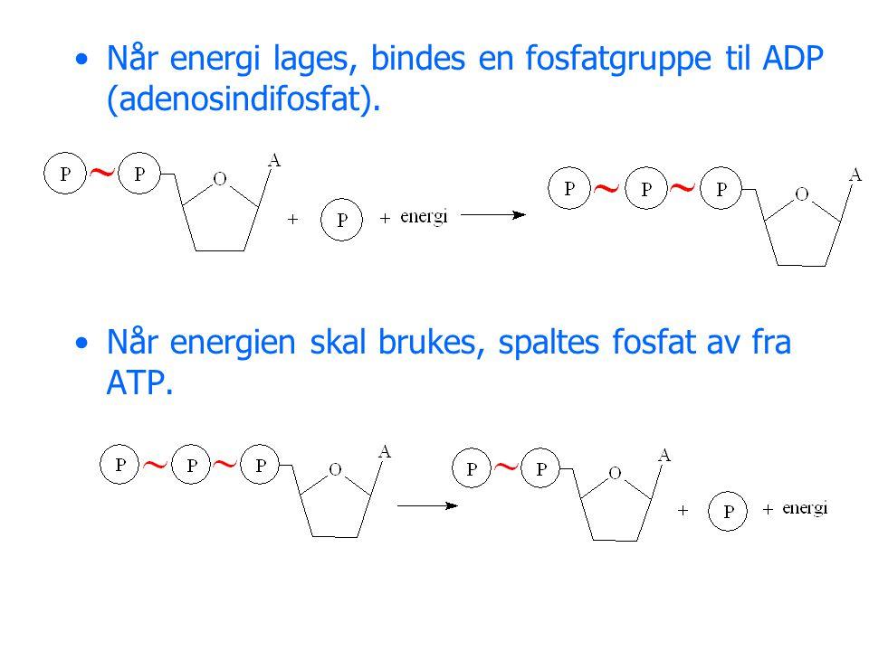 Når energi lages, bindes en fosfatgruppe til ADP (adenosindifosfat). Når energien skal brukes, spaltes fosfat av fra ATP.