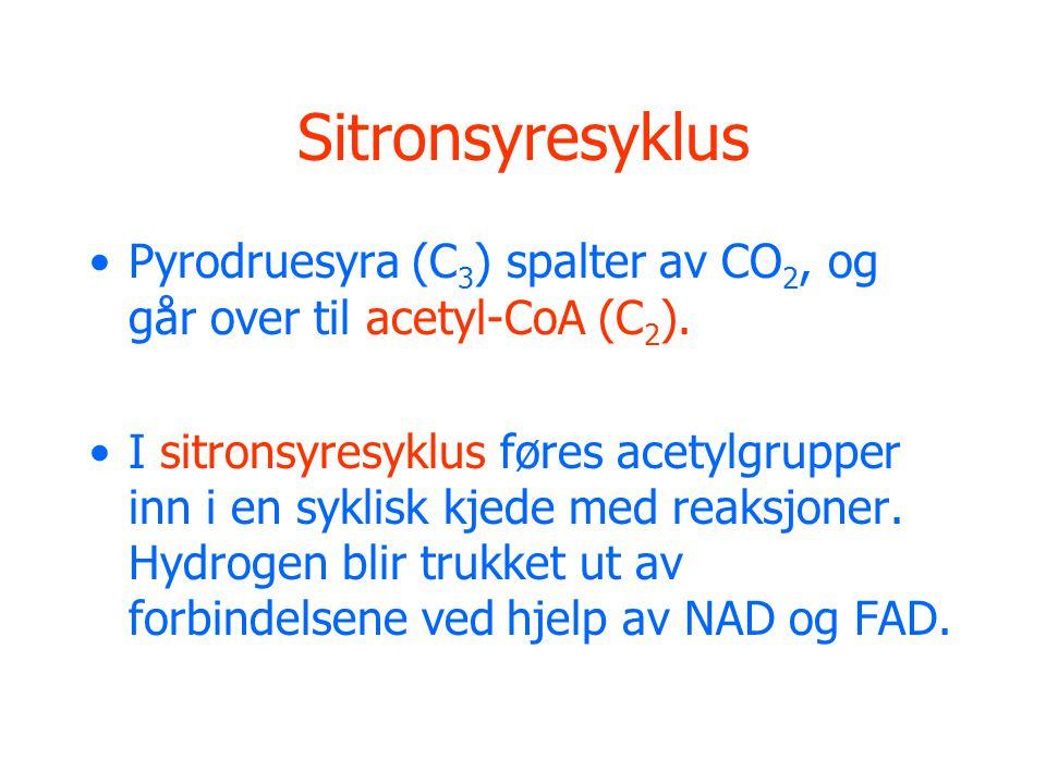 Sitronsyresyklus Pyrodruesyra (C 3 ) spalter av CO 2, og går over til acetyl-CoA (C 2 ). I sitronsyresyklus føres acetylgrupper inn i en syklisk kjede