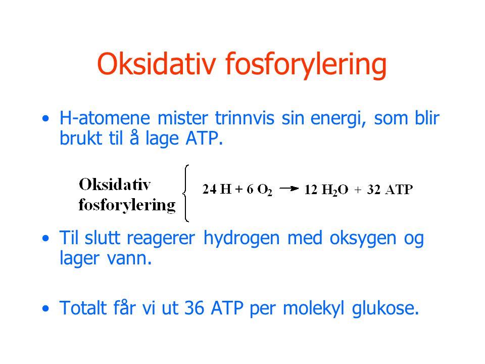 Oksidativ fosforylering H-atomene mister trinnvis sin energi, som blir brukt til å lage ATP. Til slutt reagerer hydrogen med oksygen og lager vann. To