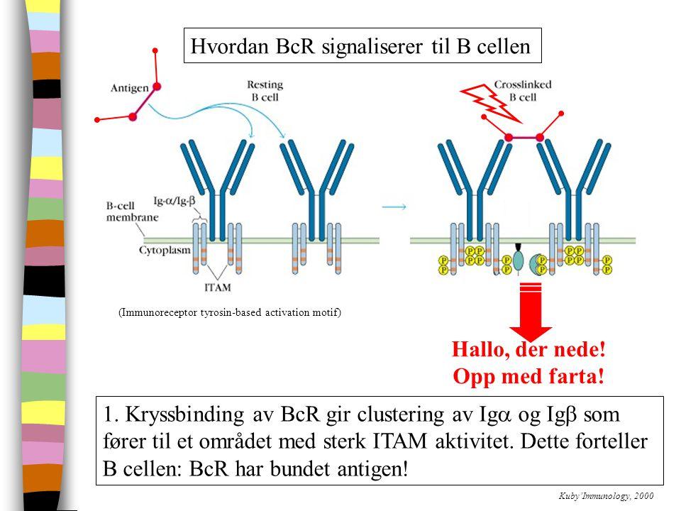 (Immunoreceptor tyrosin-based activation motif) Hvordan BcR signaliserer til B cellen Kuby'Immunology, 2000 1.