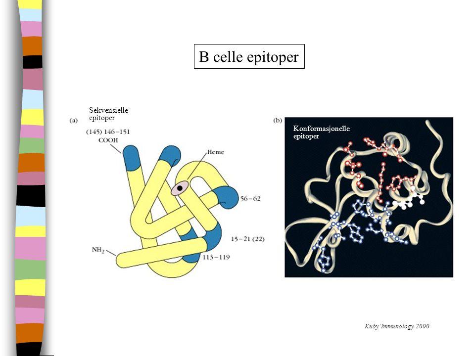 B celle epitoper Sekvensielle epitoper Konformasjonelle epitoper Kuby'Immunology 2000