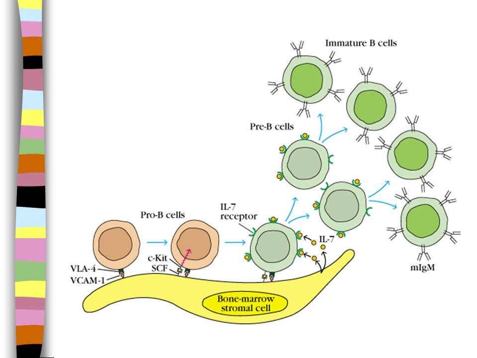 Kuby'Immunology, 2000 TD-Antigen TD = T dependent = T avhengig TI = T independent = T uavhengig TD-Antigen TI-Antigen