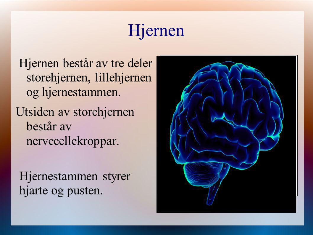 Hjernen Hjernen består av tre deler storehjernen, lillehjernen og hjernestammen. Utsiden av storehjernen består av nervecellekroppar. Hjernestammen st