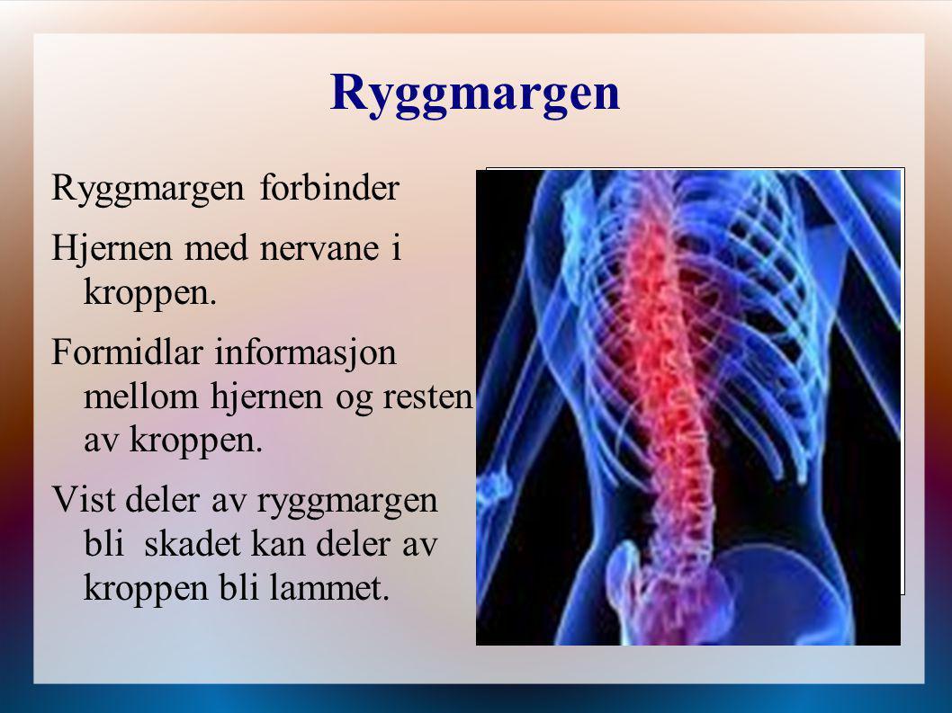 Ryggmargen Ryggmargen forbinder Hjernen med nervane i kroppen. Formidlar informasjon mellom hjernen og resten av kroppen. Vist deler av ryggmargen bli