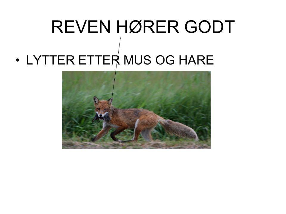 REVEN HØRER GODT LYTTER ETTER MUS OG HARE