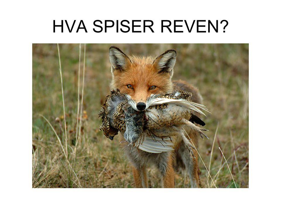 HVA SPISER REVEN?