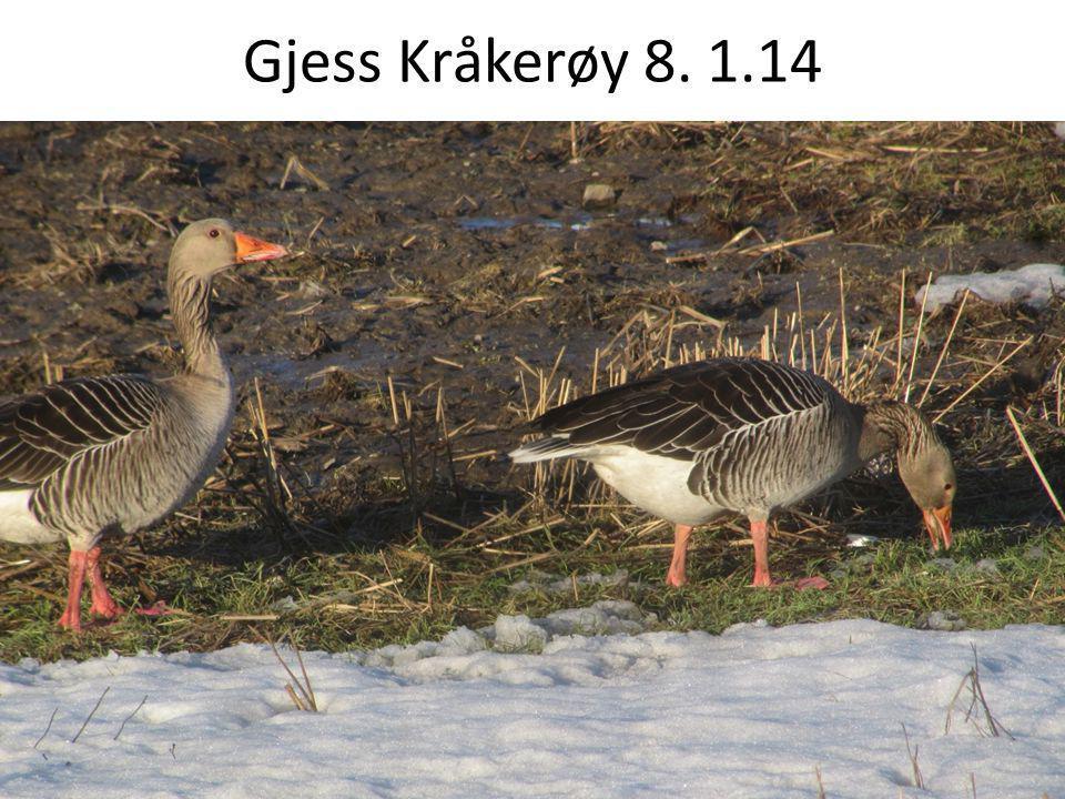 Gjess Kråkerøy 8. 1.14