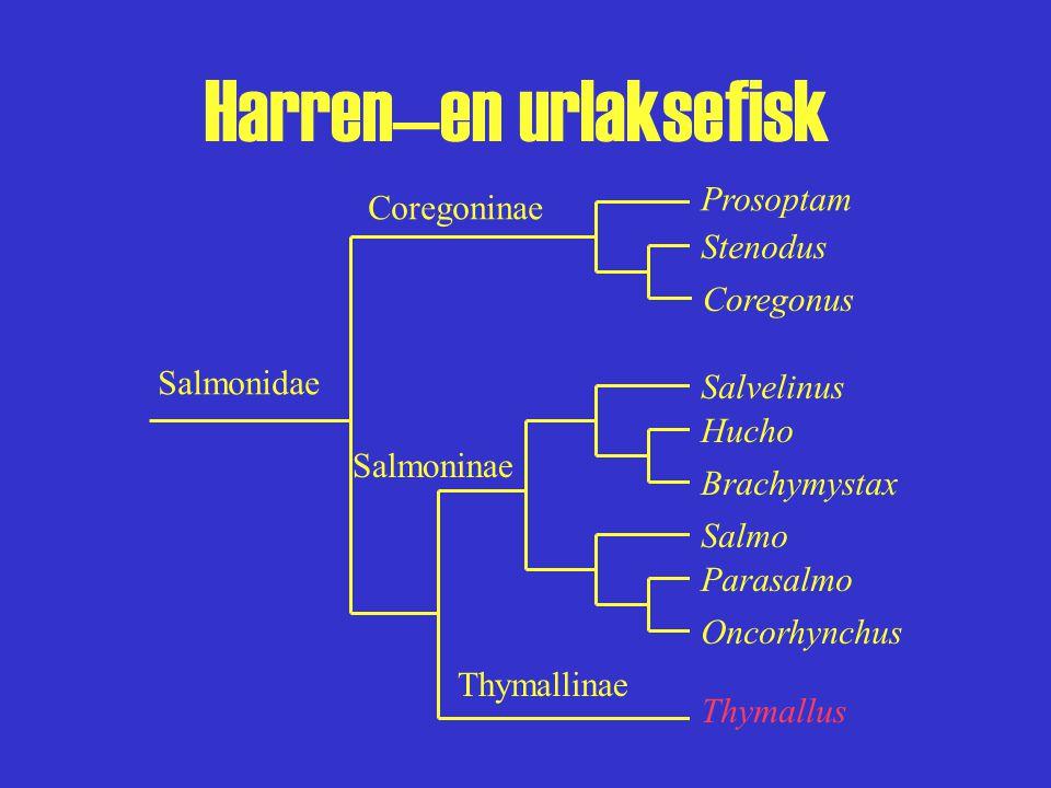 Harren—en urlaksefisk Fylogeni Fire harrarter (minst) –Thymallus thymallus (Linnaeus, 1758) –T. arcticus (Pallas, 1776) –T. nigrescens (Dorogostajskij