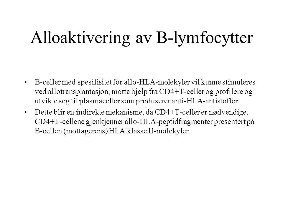 Alloaktivering av B-lymfocytter B-celler med spesifisitet for allo-HLA-molekyler vil kunne stimuleres ved allotransplantasjon, motta hjelp fra CD4+T-c