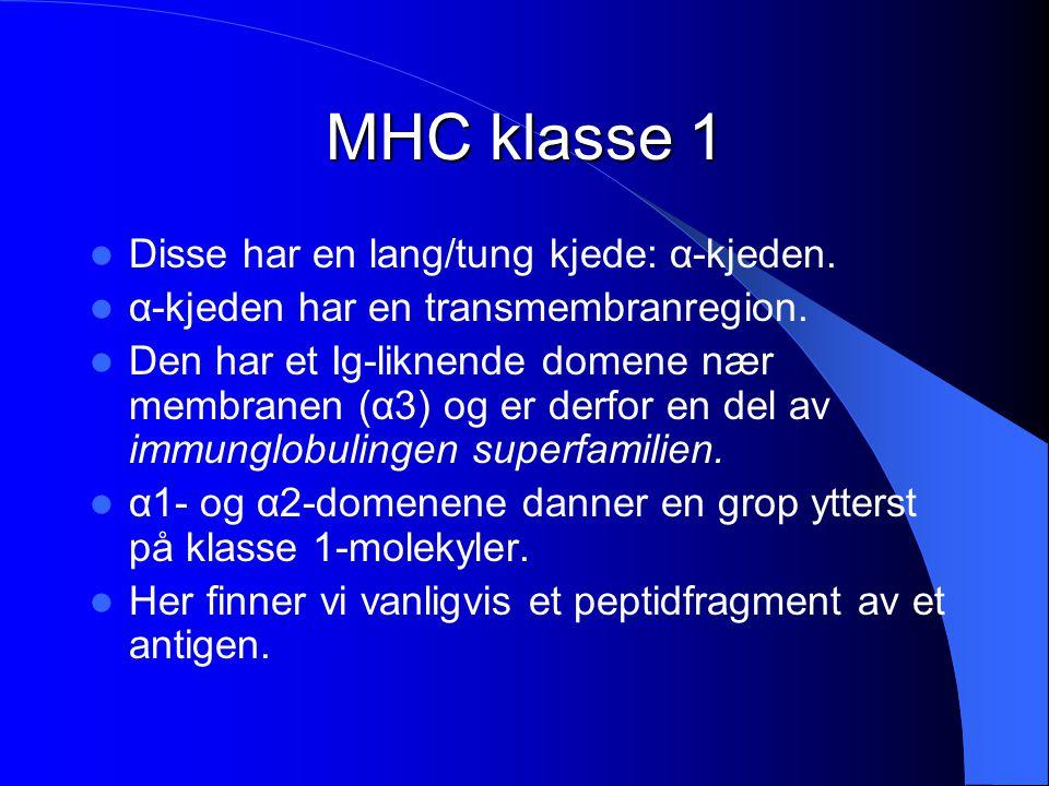 MHC klasse 1 Disse har en lang/tung kjede: α-kjeden. α-kjeden har en transmembranregion. Den har et Ig-liknende domene nær membranen (α3) og er derfor