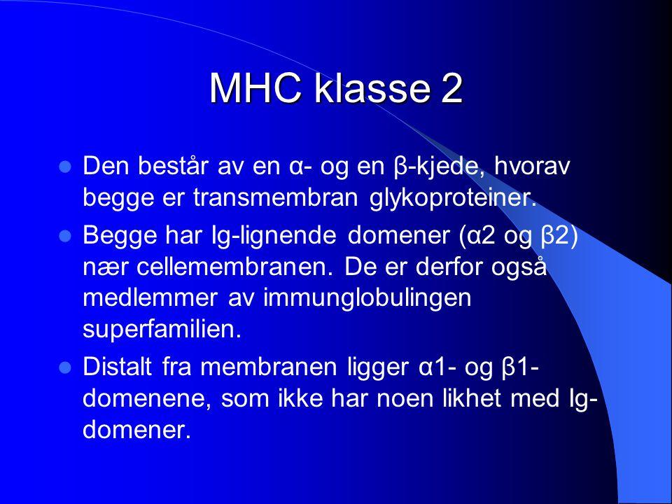 MHC klasse 2 Den består av en α- og en β-kjede, hvorav begge er transmembran glykoproteiner. Begge har Ig-lignende domener (α2 og β2) nær cellemembran