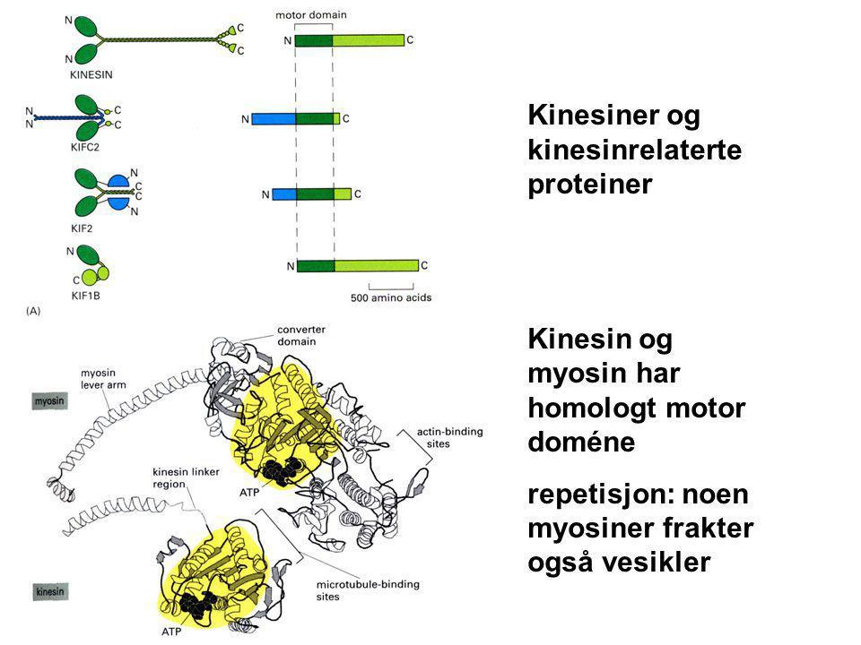 Kinesiner og kinesinrelaterte proteiner Kinesin og myosin har homologt motor doméne repetisjon: noen myosiner frakter også vesikler