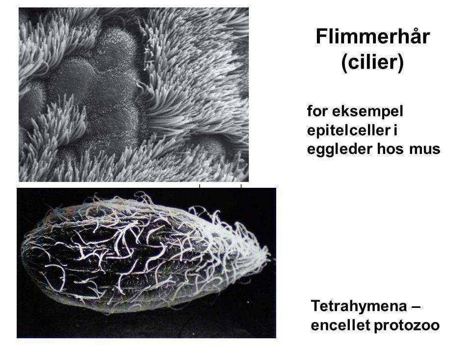 Tetrahymena – encellet protozoo for eksempel epitelceller i eggleder hos mus Flimmerhår (cilier)