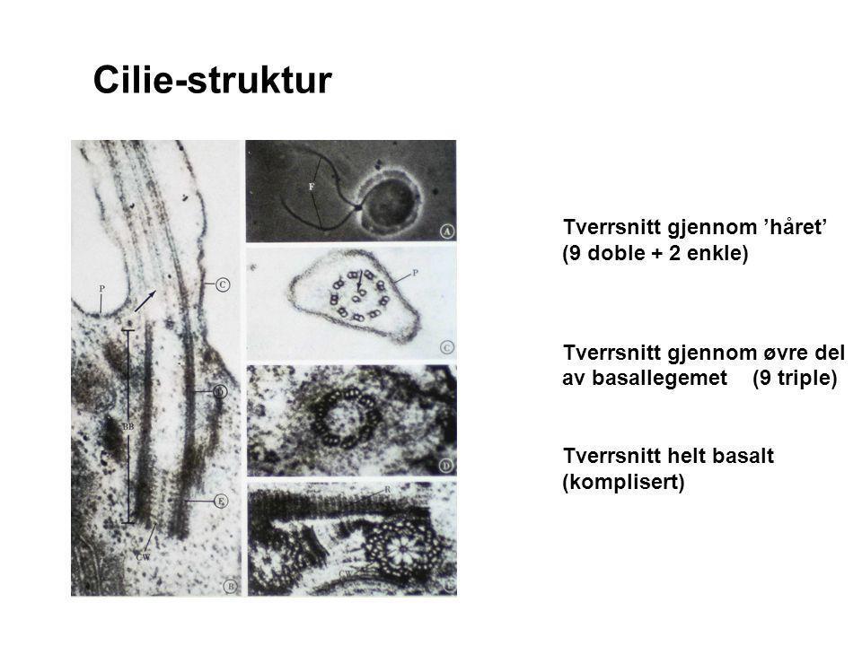 Tverrsnitt gjennom 'håret' (9 doble + 2 enkle) Tverrsnitt gjennom øvre del av basallegemet (9 triple) Tverrsnitt helt basalt (komplisert) Cilie-strukt