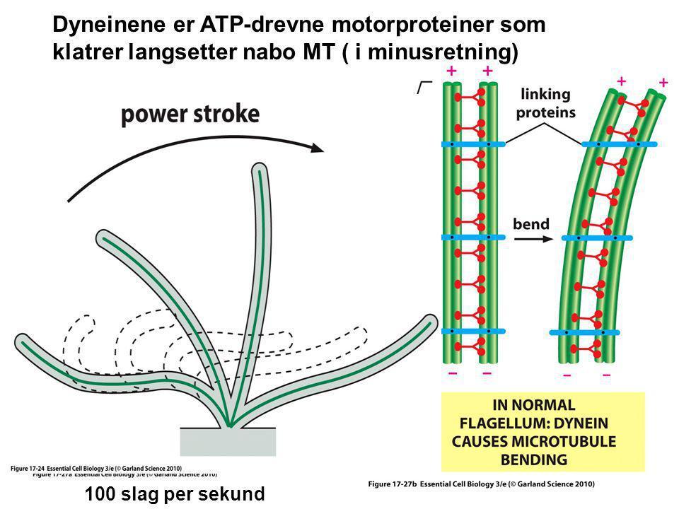 Dyneinene er ATP-drevne motorproteiner som klatrer langsetter nabo MT ( i minusretning) 100 slag per sekund