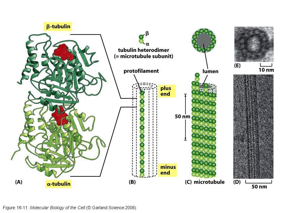 MT og dynamisk ustabilitet langsom oppbygging, rask nedbryting T-form stabil D-form ustabil -video: in vitro MT -video: in vivo: EB1 MT assosiert protein