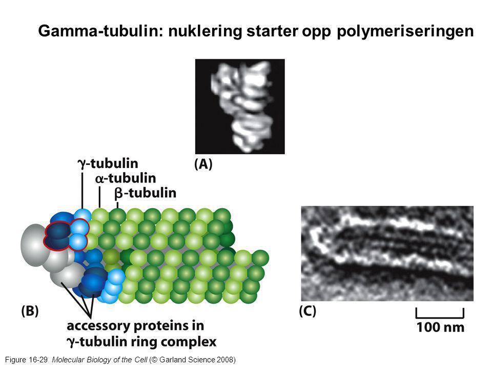 Gliding av MT i aksonemet kan gi opphav til kompliserte bevegelser cilium på flimmerepitel Spermieflagelle