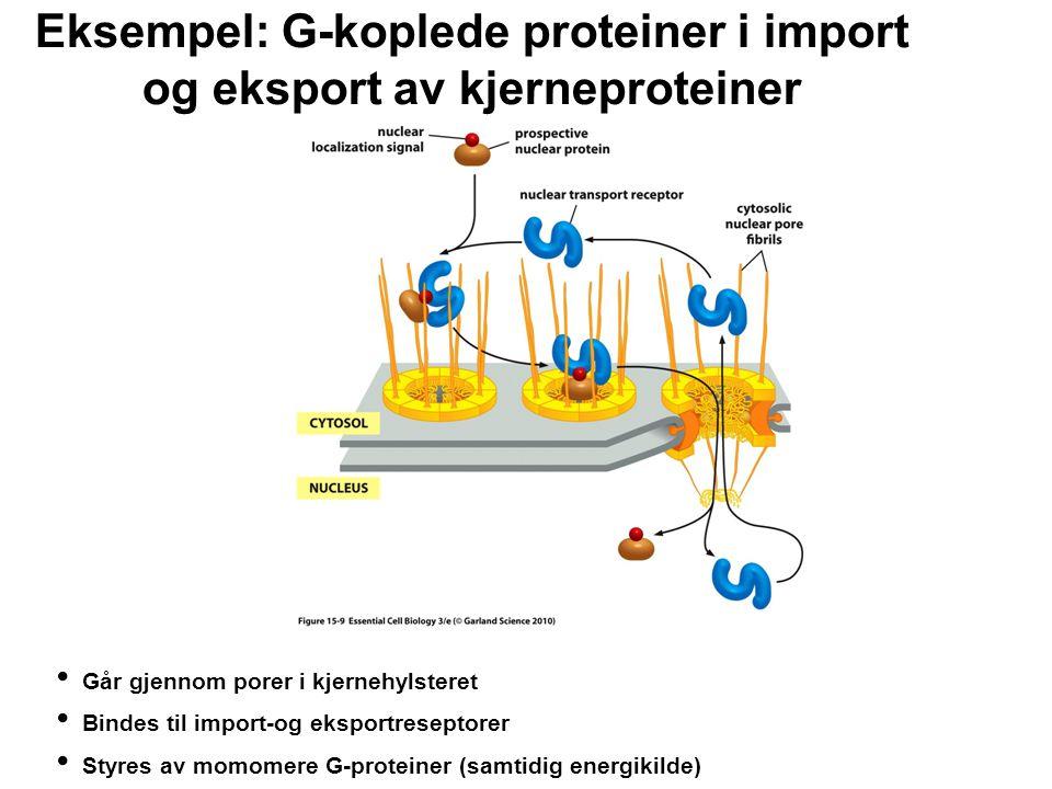 Eksempel: G-koplede proteiner i import og eksport av kjerneproteiner Går gjennom porer i kjernehylsteret Bindes til import-og eksportreseptorer Styres