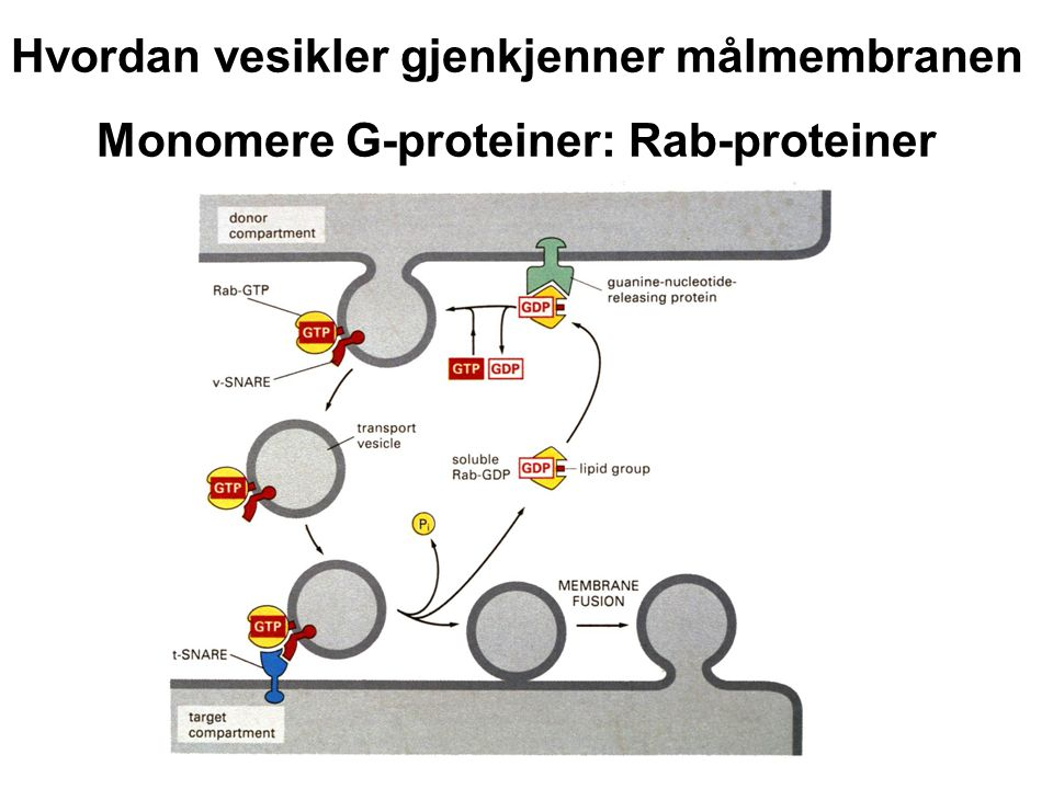 Hvordan vesikler gjenkjenner målmembranen Monomere G-proteiner: Rab-proteiner