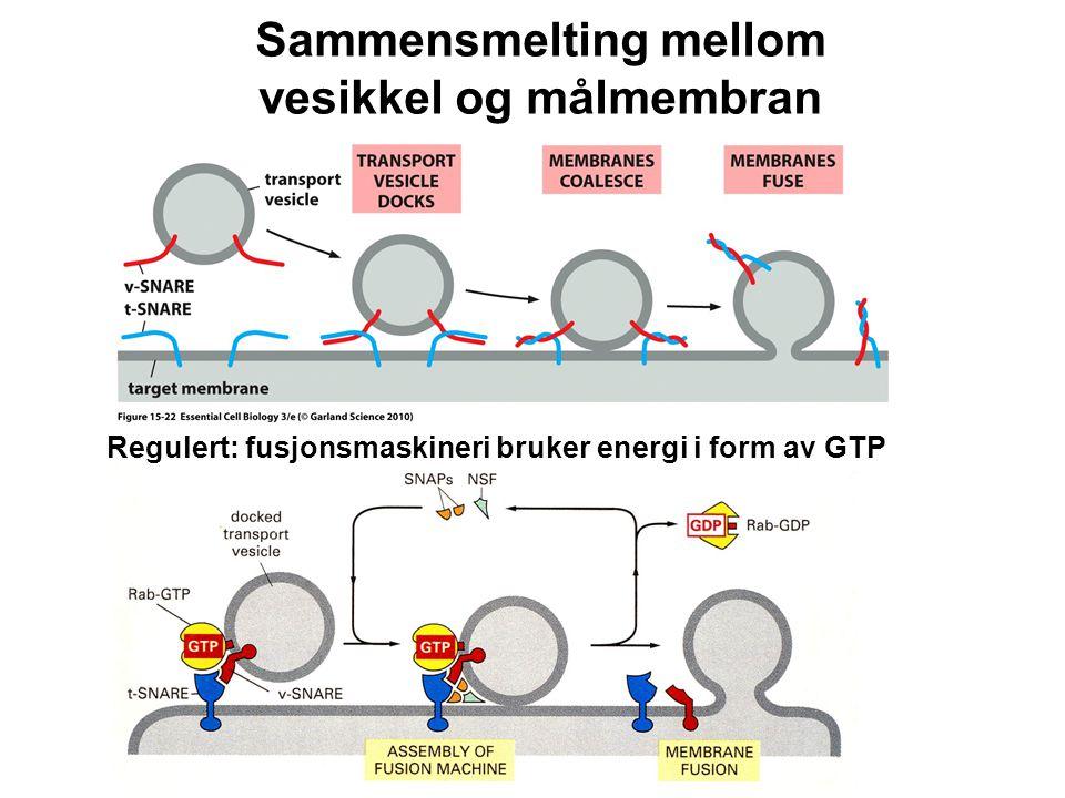 Sammensmelting mellom vesikkel og målmembran Regulert: fusjonsmaskineri bruker energi i form av GTP