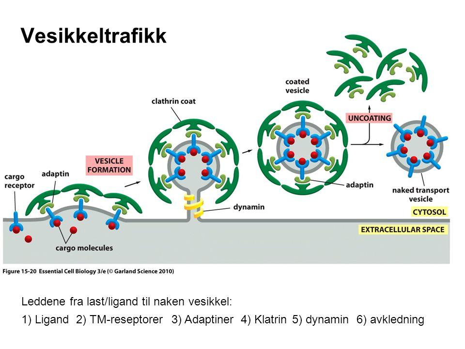 Vesikkeltrafikk Leddene fra last/ligand til naken vesikkel: 1) Ligand2) TM-reseptorer3) Adaptiner4) Klatrin 5) dynamin 6) avkledning