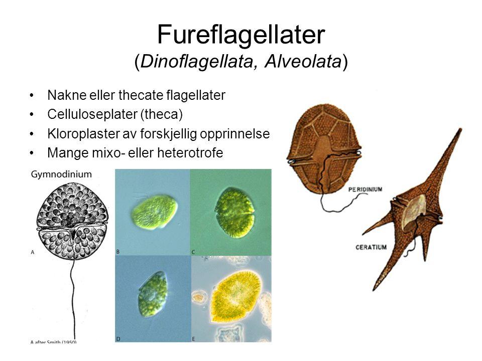Ciliater (Ciliophora, Alveolata) Encellede, heterotrofe Ciliekrans Noen med endosymbionter Alge- eller bakteriespisere Hurtigvoksende