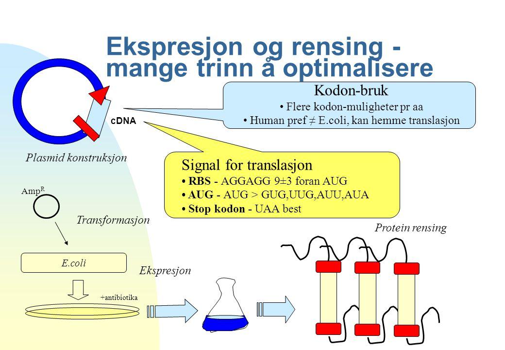 Ekspresjon og rensing - mange trinn å optimalisere Amp R E.coli +antibiotika cDNA Plasmid konstruksjon Transformasjon Ekspresjon Protein rensing Signa
