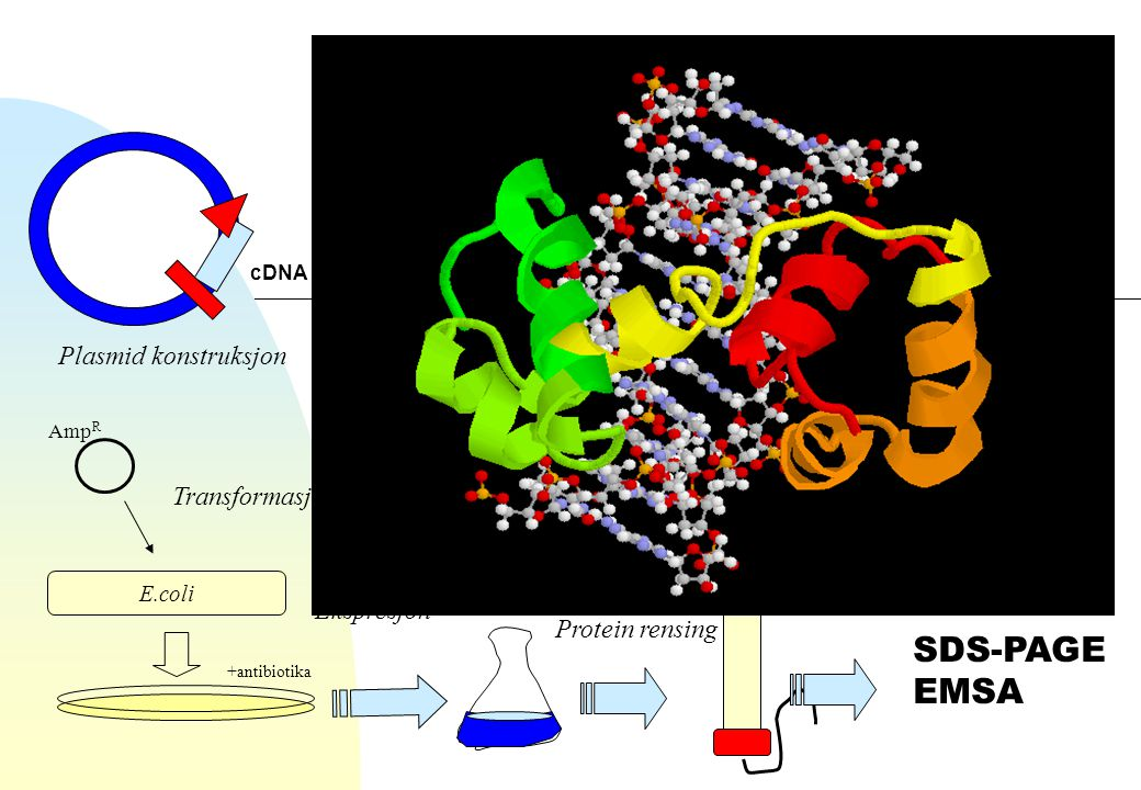 Amp R E.coli +antibiotika cDNA Plasmid konstruksjon Transformasjon Ekspresjon Protein rensing SDS-PAGE EMSA