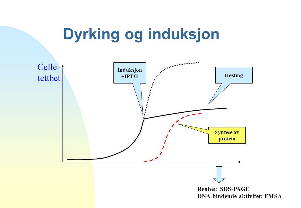 Dyrking og induksjon Celle- tetthet Induksjon +IPTG Høsting Renhet: SDS-PAGE DNA-bindende aktivitet: EMSA Syntese av protein