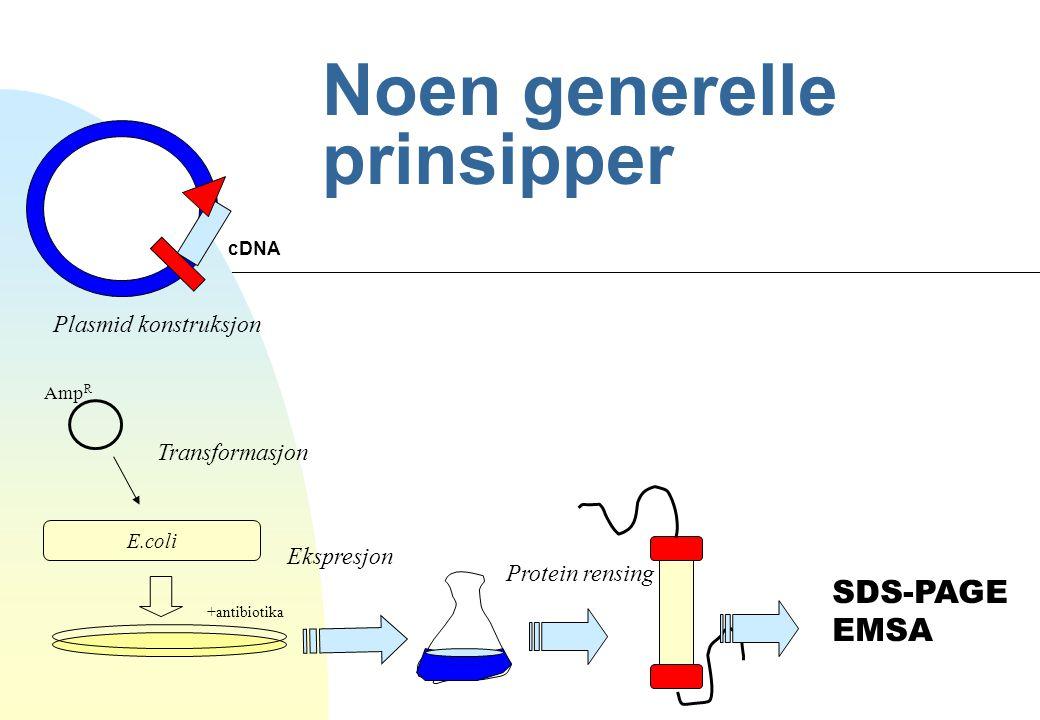 Noen generelle prinsipper Amp R E.coli +antibiotika cDNA Plasmid konstruksjon Transformasjon Ekspresjon Protein rensing SDS-PAGE EMSA