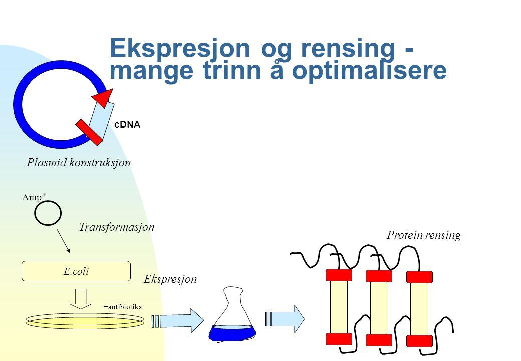 Ekspresjon og rensing - mange trinn å optimalisere Amp R E.coli +antibiotika cDNA Plasmid konstruksjon Transformasjon Ekspresjon Protein rensing