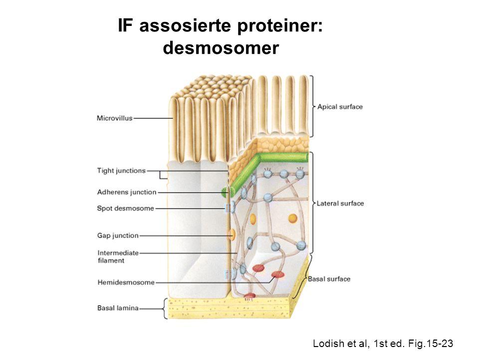 IF assosierte proteiner: desmosomer Lodish et al, 1st ed. Fig.15-23