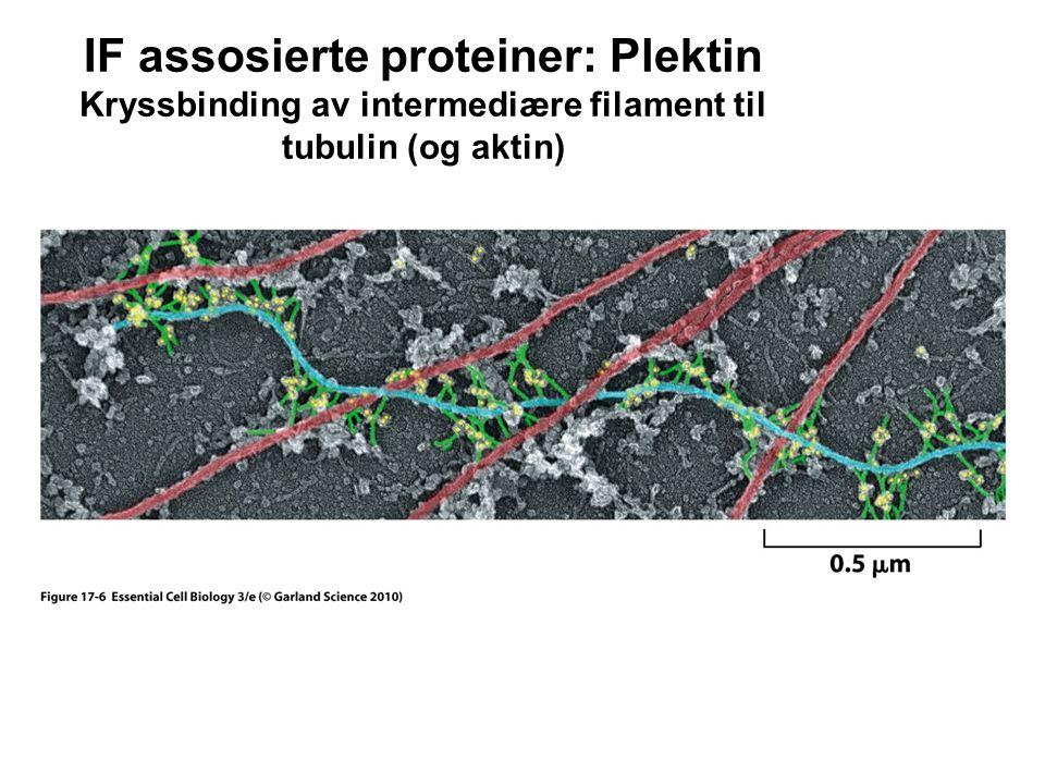 IF assosierte proteiner: Plektin Kryssbinding av intermediære filament til tubulin (og aktin)