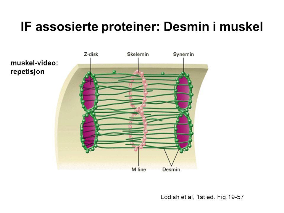 IF assosierte proteiner: Desmin i muskel Lodish et al, 1st ed. Fig.19-57 muskel-video: repetisjon