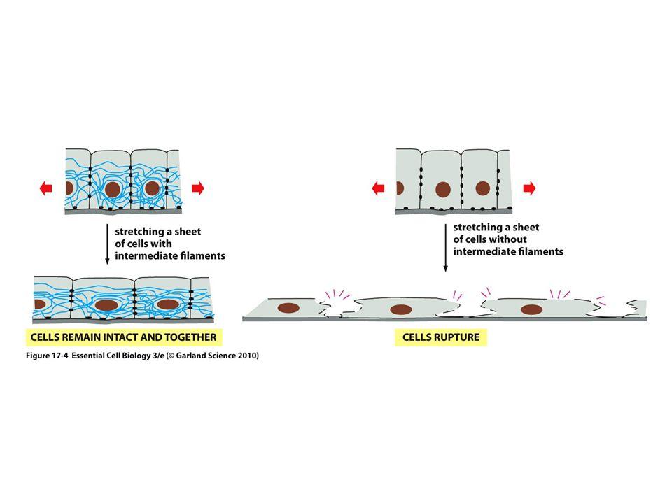 Betydningen av forankring av celleforbindelser til cytoskjelettet